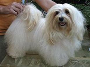 Habanera Dog Breed